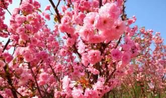 《城事特搜》带你来一场樱花盛宴【广州樱花节】从化天适樱花悠乐园、莲麻小镇、含午餐 ?#23458;?#19968;天